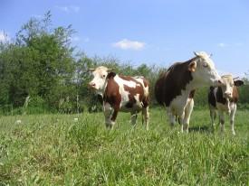 Vaches de race montbéliarde dans une prairie