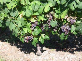 Pied de vigne Jurassienne avec grappe de raisin