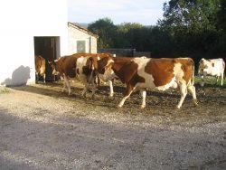 Vaches entrant à l'étable dans l'Auberge paysanne du tilleul