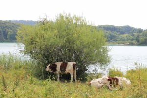 Vaches-2